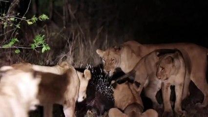 13 Lions Couldnt Beat a Porcupine