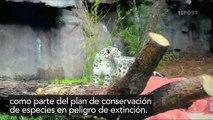 Leopardo de las Nieves llega al zoológico de Chapultepec en México - 15POST