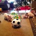 خنازير صغيرة تلعب الكرة