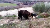When Crazy Animals Attack Dog attacks Rabid Grizzly Bear ~ Best Funny Animals 2014