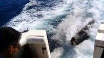 Un lion de mer poursuit un bateau plein de poisson