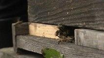 Ariège: décès en masse des abeilles, possible mise en cause de molécules