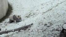 Ce panda géant, du zoo de Toronto, adore la neige... Et hop une petite glissade!
