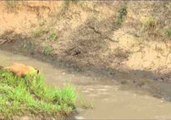 Lioness Gives Her Cubs a Swimming Lesson