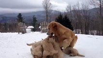 Une chienne joue avec ses petits chiots. So Cute!!