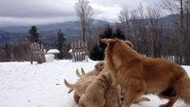 Une chienne golden retriever joue avec ses neuf chiots dans la neige