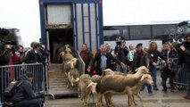 French farmers cry wolf over sheep killings