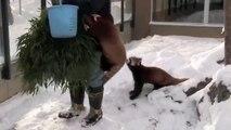 Des Pandas Roux se prennent d'affection pour le gardien du Zoo