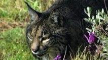 Animales Salvajes | Lince Ibérico - Planet Doc
