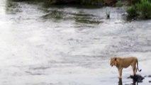 Crocodile vs lion - Attacchi Crocodile leone  Crocodile Attacks a lion