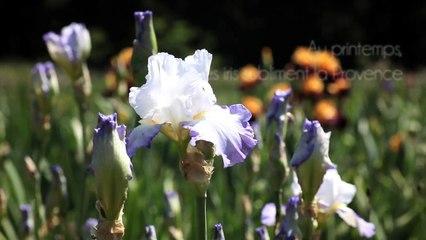 Iris, fleurs de Provence