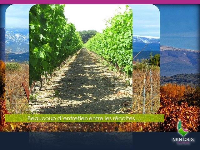 Ventoux-tourisme.com Présentation du Raisin de Table