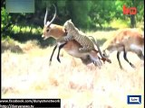 Dunya News - Fight between 2 deers in African jungle foils Tiger's attack on both