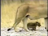 [BBC science documentaries 2014]  Crater Lions Of Ngorongoro Discovery Education Animals Full HD
