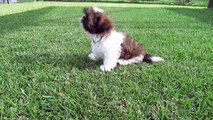 Puppies just want to have fun No.4 - Funny Shih Tzu Puppies Video