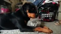 Instant tendresse un chien fait des câlins à un chat...