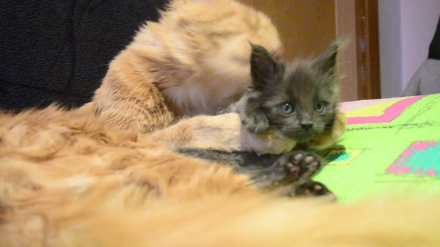 Caring cat washes adorable kitten
