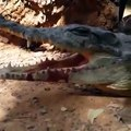 Dumb bird put his head into the open mouth of a crocodile...