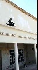 Güvercini Yakalamaya Çalışan Kedinin Dramı