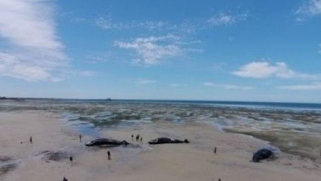 Drone Footage Shows Sperm Whales Stranded on Australian Beach