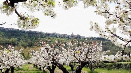 Spaziergang unter bluhenden Kirschbaumen