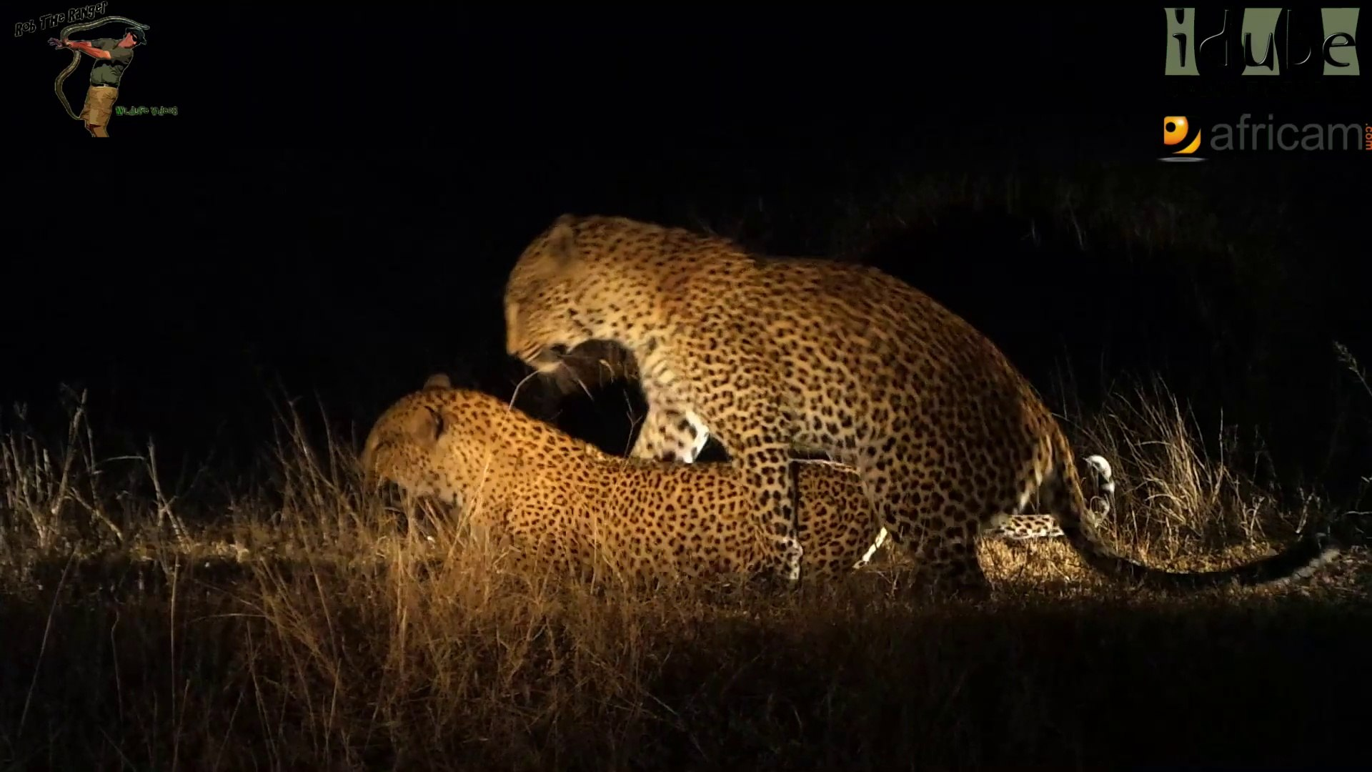 Animal Jaguar Sex Porn sex in the wild: leopards getting frisky at night - video