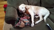 Ce chien se sent coupable... Coupable d'avoir bouffé le sapin de Noël!