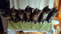 Cute and Funny Maine Coon Kittens video compilation NEW [HD]