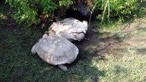 Tortues solidaires : une tortue va aider son congénère coincé sur le dos et lui sauver la vie