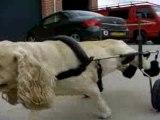 Voiturette pour chien paralysé