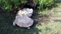 Une tortue vient en aide à une autre tortue - vidéos insolites