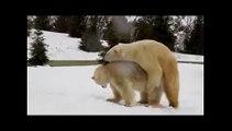 Animals mate Polar Bears   new