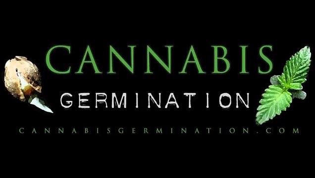 Graines de cannabis jusqu'à pousse cannabis