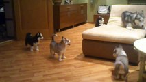 Maman husky joue avec ses 7 chiots