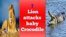 leónes vs cocodrilos ataques documentales