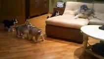 Une chienne husky joue avec ses 7 chiots