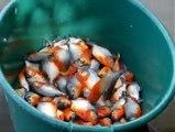 صيد أسماك البيرانا الضارية بطريقة غريبة جدا