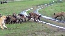 عندما تخاف الاسود من ألد الاعداء مجموعة من الضباع تهاجم على أنثى أسد