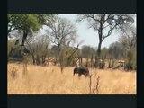 مهاجمة من أنثى الفيل على قطيع من الاسود للمحافظة على صغيرها