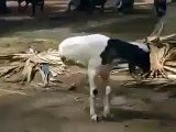 amazing goat having only two front legs only