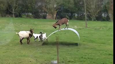 beautiful playing goats
