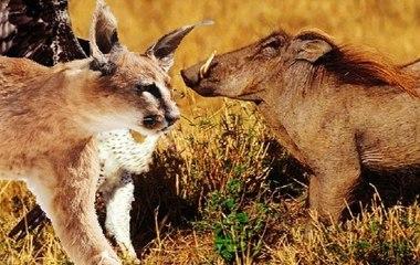 Lynx Attacks a Warthog