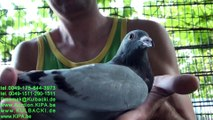 Next transport to Canada & USA Second week in August KULBACKI RACING PIGEON STUD