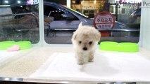 Bichon Frise 인천강아지분양 임피리얼펫 / 비숑 프리제 / 애견샵 임페리얼펫 Imperial Pet Korea