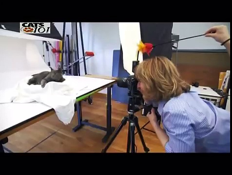 CATS 101 – British Shorthair ITA