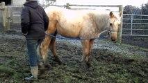 Maxie Quarter Horse, Leading Exercises: HOLLYMOON PEPI McCUE, 2012 palomino QH filly