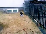 Pigeon Fakes Death To Escape Cat