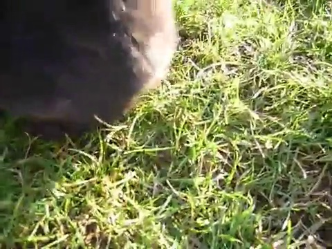 Cute Black Bunny Eating Grass. Funny Black Little Giant Rabbit. Nice Beautiful Animal. Pet Video _