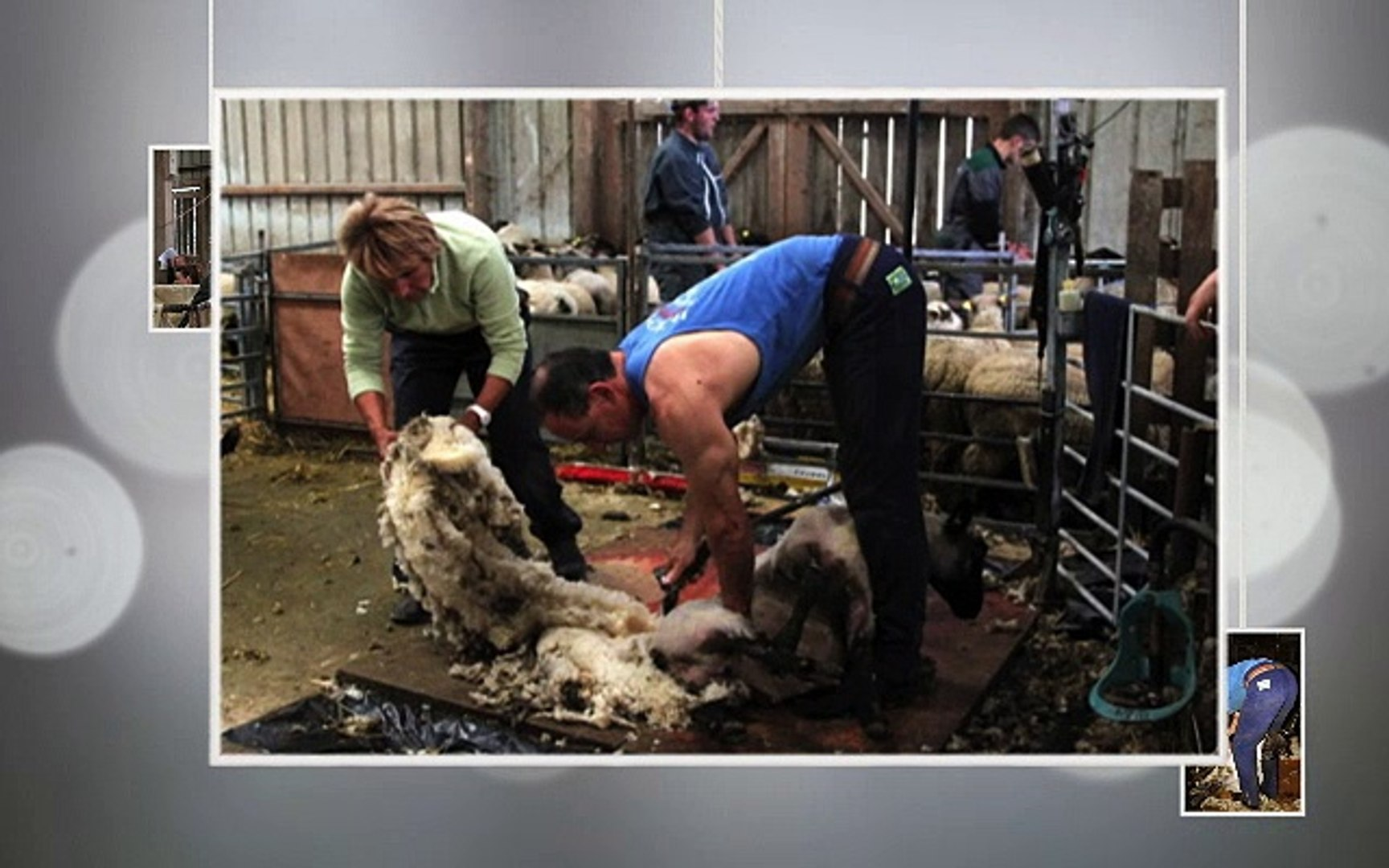 tonte des agneaux du mont saint michel