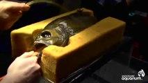 Gözü Olmayan Balığa Protez Göz Takıldı